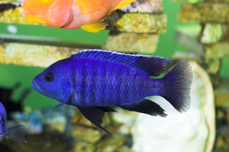 Bright Blue Predator Fish Royalty Free Stock Photos