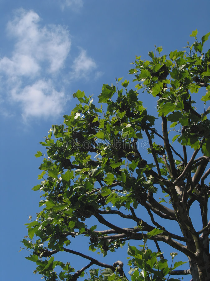 Download Bright blue sky and a tree stock photo. Image of natural - 152128