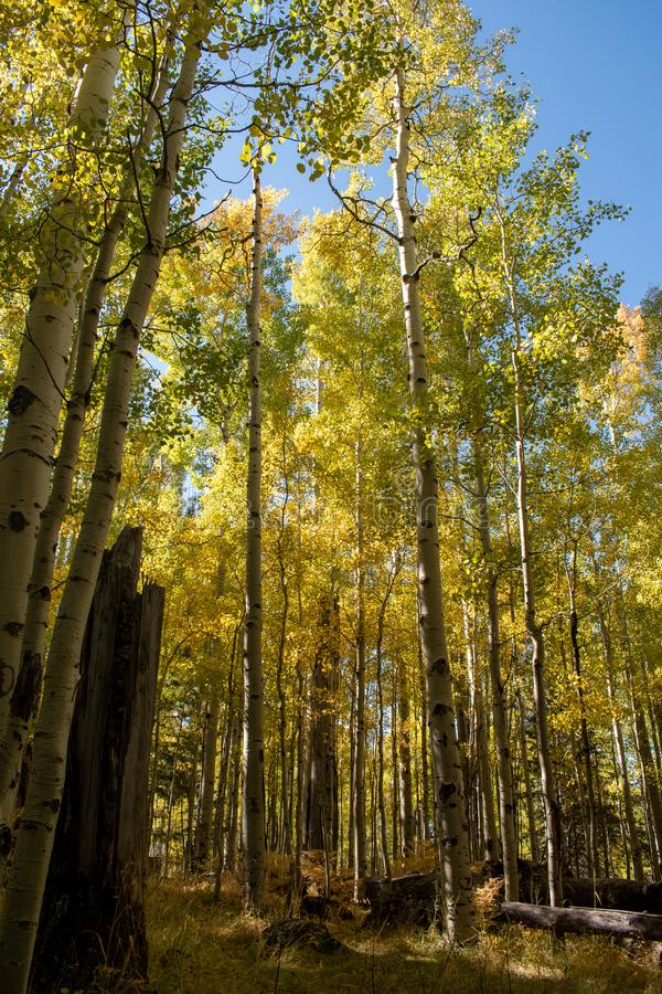 Grove of golden aspen trees in early fall royalty free stock images