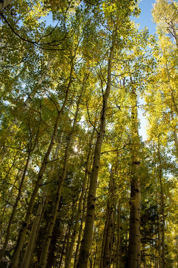 Grove of golden aspen trees in early fall stock photo