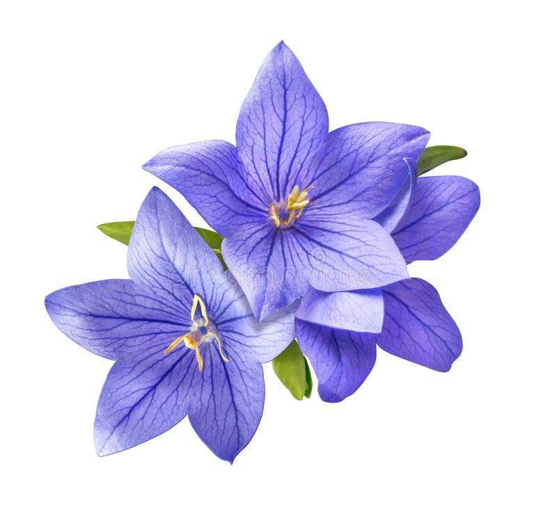 Bright bluebell flowers bouquet isolated on white background. Tender bright bluebell flowers bouquet isolated on white background stock photos