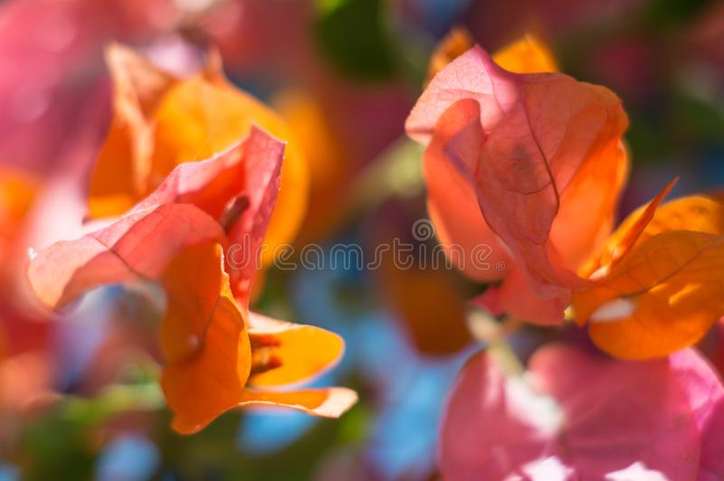 Bright bougainvillea flowers on a blurred background on a sunny summer day. Artistic background. Soft focus, defocused.  stock photography