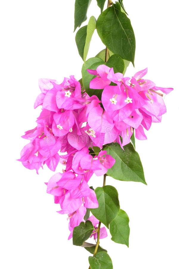 Bright Bougainvillea flowers isolated on white background royalty free stock photography