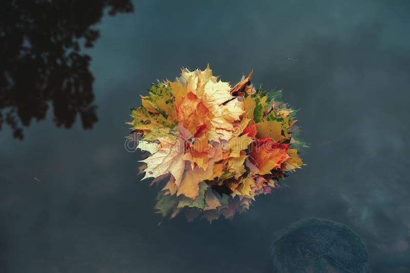 Bright bouquet of colorful maple leaves floats in the cold water of the pond. Picturesque natural autumn background. Copy space royalty free stock photography