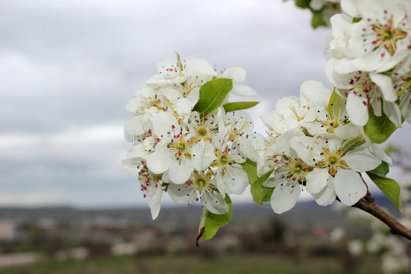 Bright branch of blossoming apple trees, large white flowers. Against a mountain landscape, spring flowers, white and fresh flowers, petals and nectar, aroma of royalty free stock image