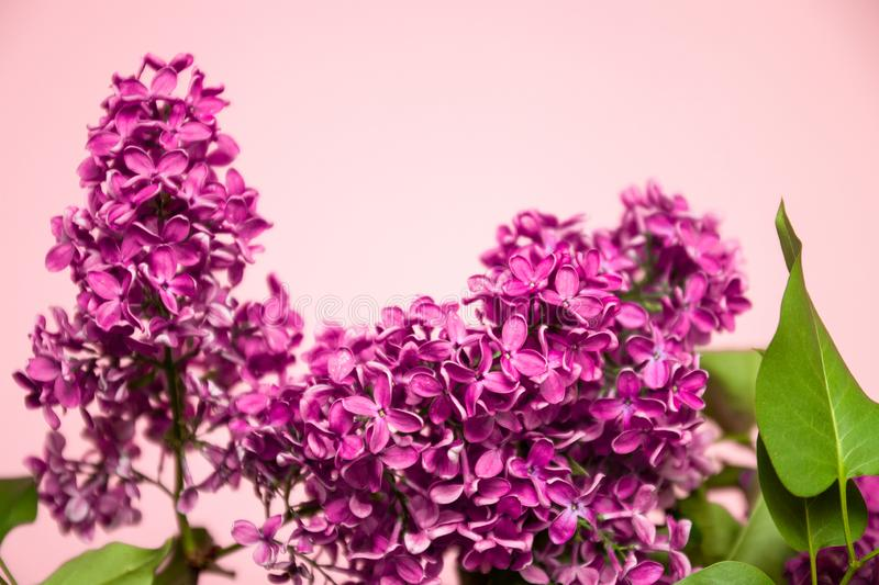 Bright branch of lilac on a pink background. Spring or summer holiday concept. Fresh bright branch of lilac on a pink background. Spring or summer holiday royalty free stock photos