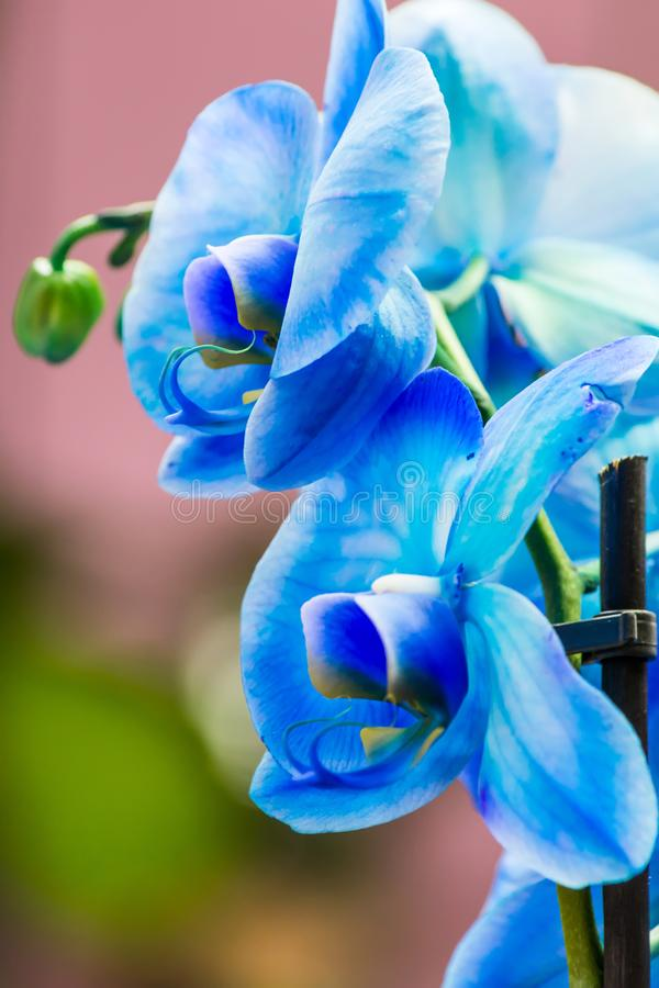 Bright bud of blue color orchid flower close-up macro stock image