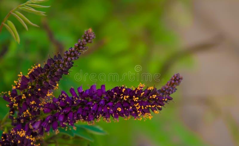 Orange Pom Pom Buddleja Flower Shrub Stock Photo Image
