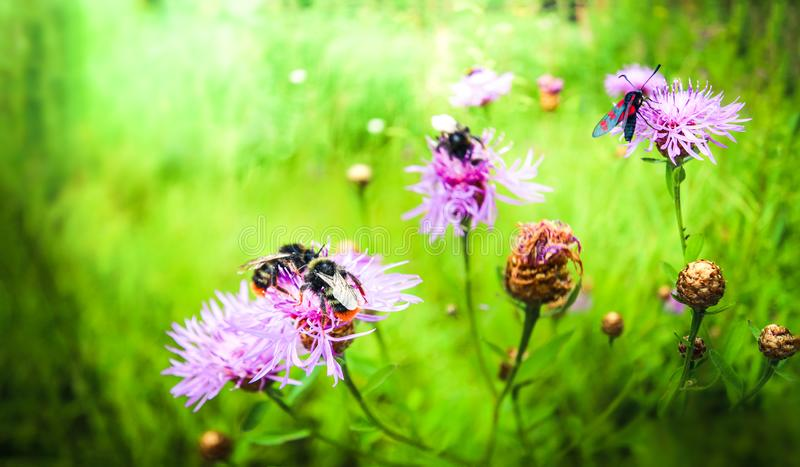 Bright bumblebees and beautiful moths gather nectar from pink-purple flowers. Spring flowers blossom. Blurred background stock photography