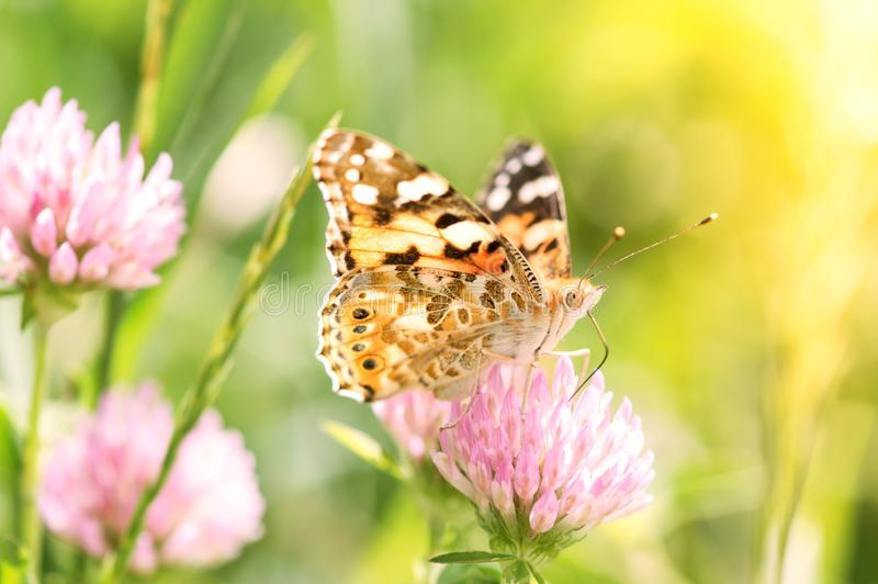 A bright butterfly on a pink clover flower. Beautiful summer photo. royalty free stock photos