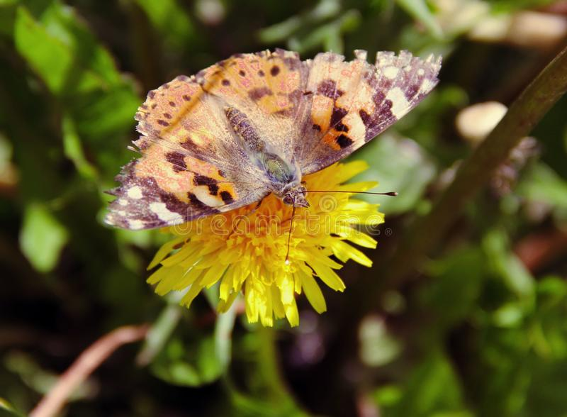 Bright butterfly on a yellow flower royalty free stock image