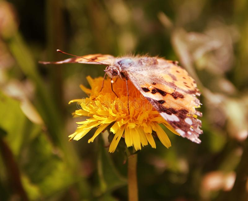 Bright butterfly on a yellow flower royalty free stock images