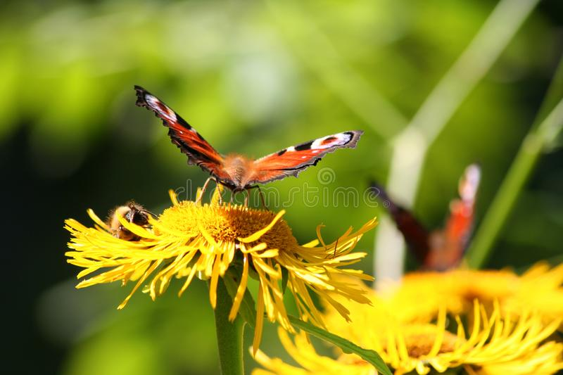 Bright butterfly on yellow flower on a green background royalty free stock photo