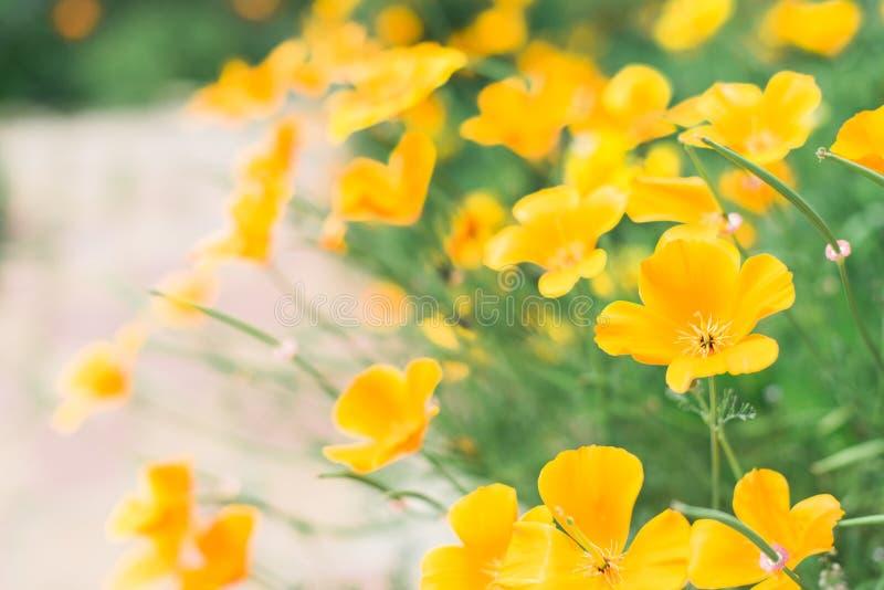 Bright Californian Poppies stock photos