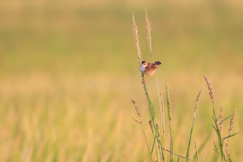 Bright-capped Cisticola    in the morning royalty free stock photography