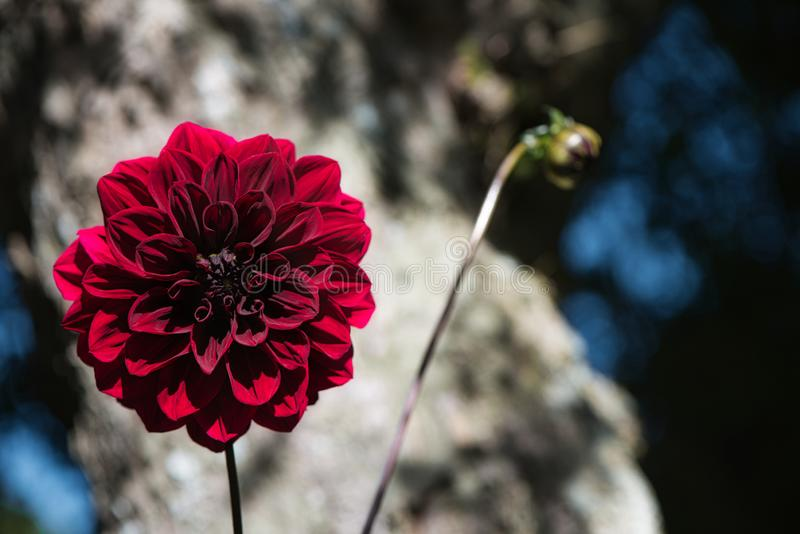 Bright Carmine Dark Red Arabian Night Dahlia or Decorative Dahlia on a garden. Gentle movements under the summer breeze royalty free stock images