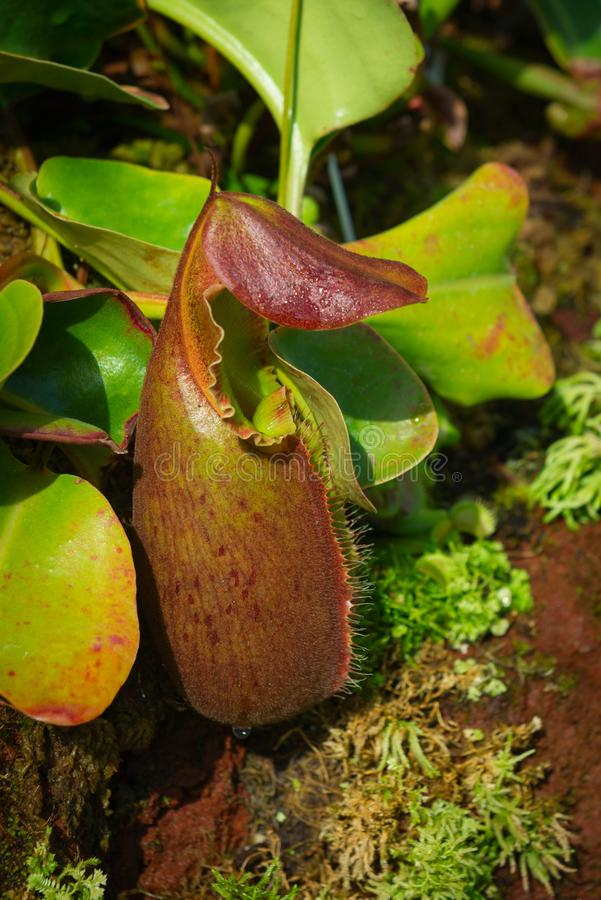 Bright carnivorous plant in green forest. Bright carnivorous plant Nepenthes also known as tropical pitcher plant royalty free stock images