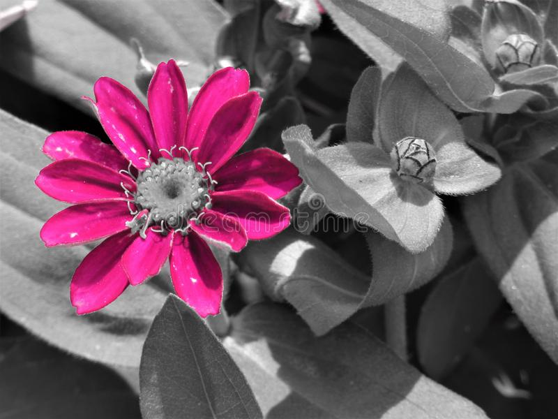 Pink aster stock photo