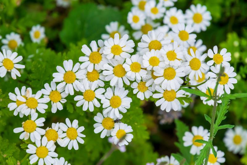Bright chamomile flowers on a meadow in summer royalty free stock image