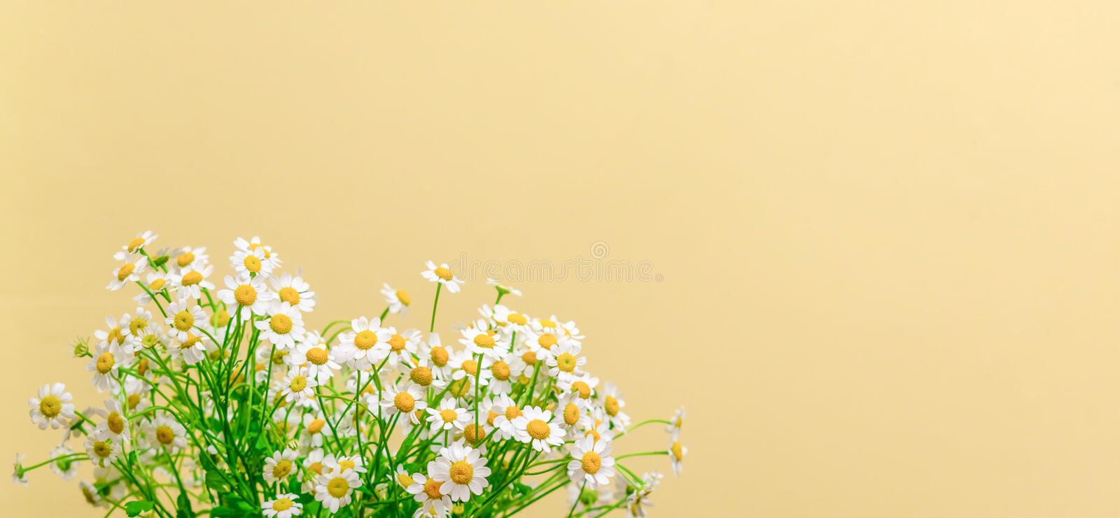 Bright and cheerful chamomile flower banner stock image