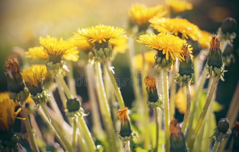 Bright cheerful dandelions bloom in the summer. Bright colorful cheerful dandelions bloom, illuminated by warm sunlight in the summer royalty free stock photography