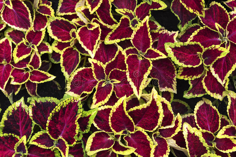 Bright Coleus royalty free stock image