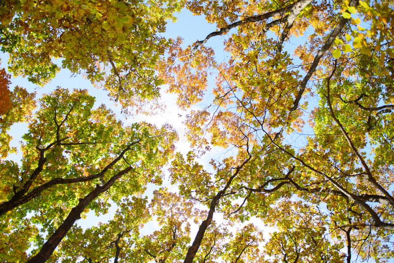 Bright colored red, yellow and green oak and maple leaves on trees in the autumn forest. royalty free stock image