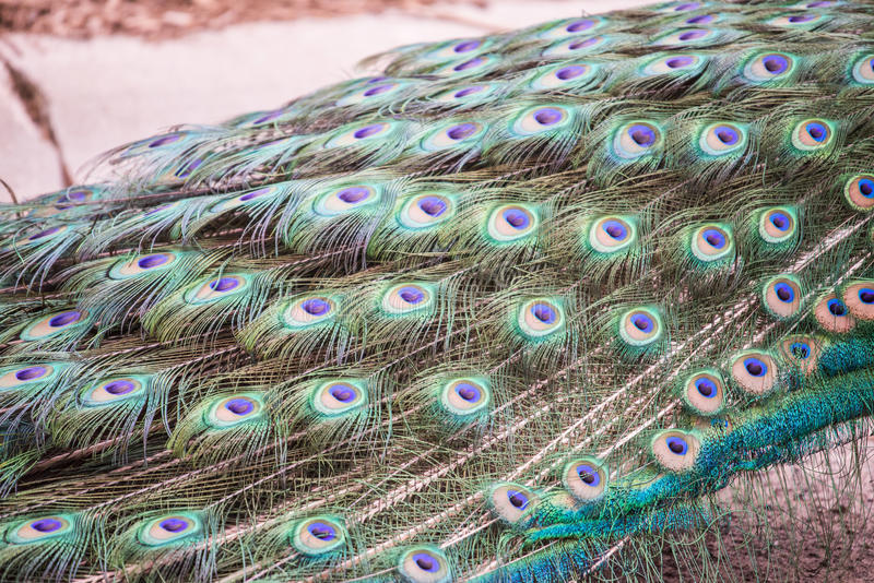 Bright colorful Peacock feather. A beautiful colorful peacock fan fanning out feathers Animal wildlife photography royalty free stock image