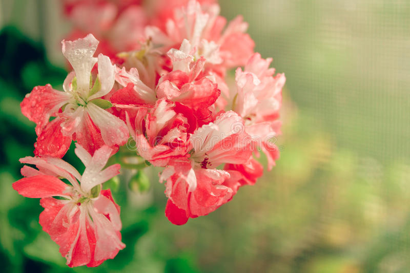 Bright colorful pelargonium. Bright colorful bicolor pelargonium in bloom royalty free stock image