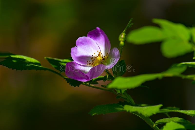 Bright colorful pink flower of wild rose in the forest of Siberia. Front view royalty free stock photo