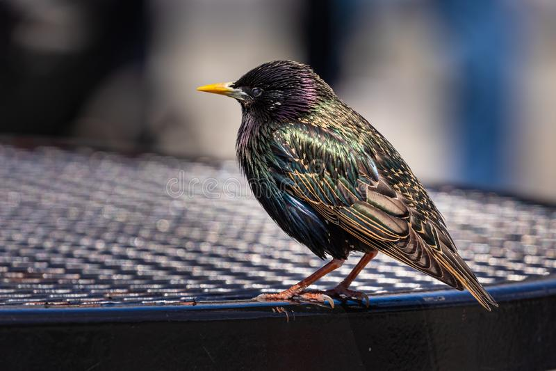 A Bright and Colorful Starling. Bild royalty free stock images