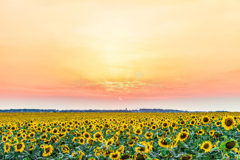 Bright colorful sunset over the village and field of sunflowers. stock images