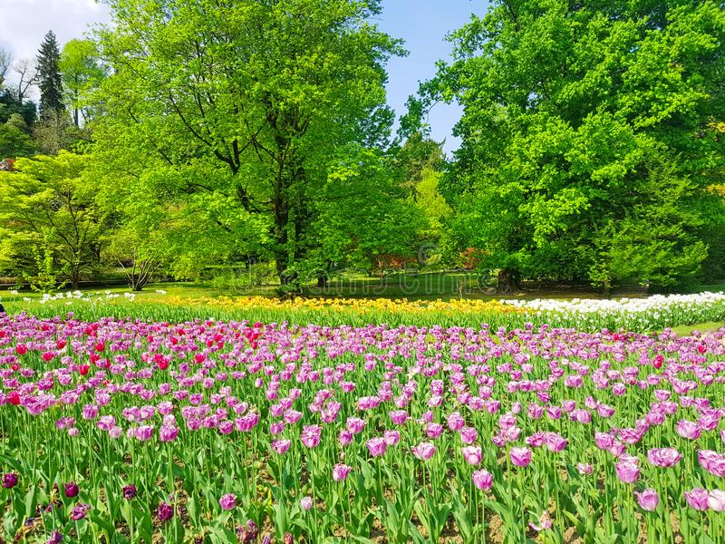 Bright colorful tulip flowers blooming in a park on spring background, Spring blooming tulip flowers blossom scene,  Field of royalty free stock image