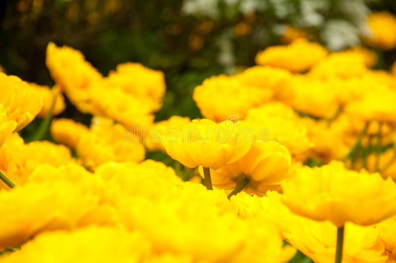 Bright colorful only yellow blossoming double tulips unusual form full frame yellow and green field russia spring time royalty free stock image