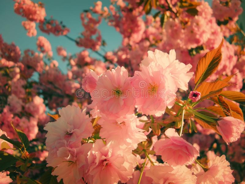 Bright colors of blossomed tree probably flowering cherry in spring. Blue sky in background,copy space royalty free stock photography