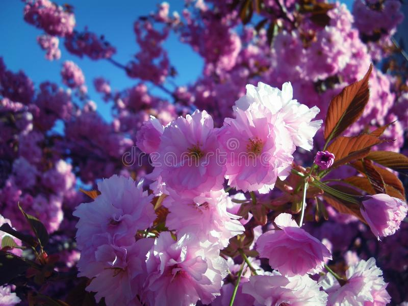 Bright colors of blossomed tree probably flowering cherry in spring. Blue sky in background,copy space stock photography