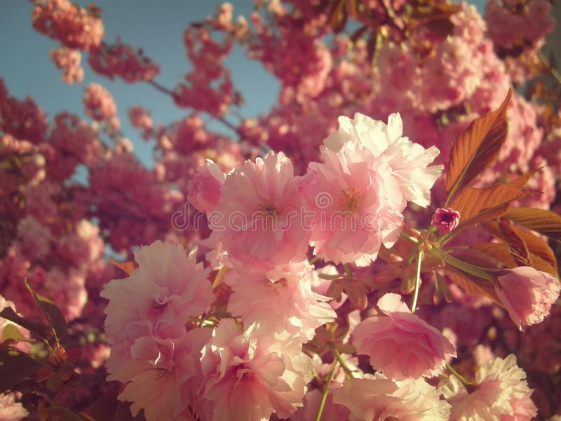 Bright colors of blossomed tree probably flowering cherry in spring. Blue sky in background,copy space stock images