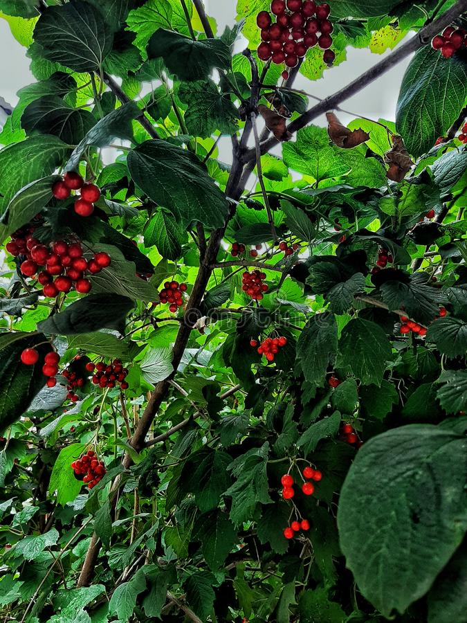 Bright colors of leaving summer. Autumn in coming. Red berries in juicy green leaves of tree in sunlight. stock images