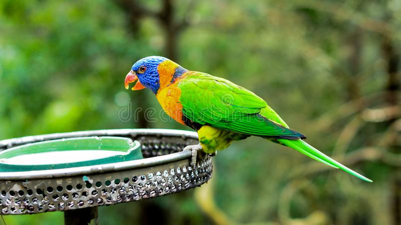 Bright Colourful Lorikeet, Australia. Colourful parrot drinking happily while the feeder sending water to them