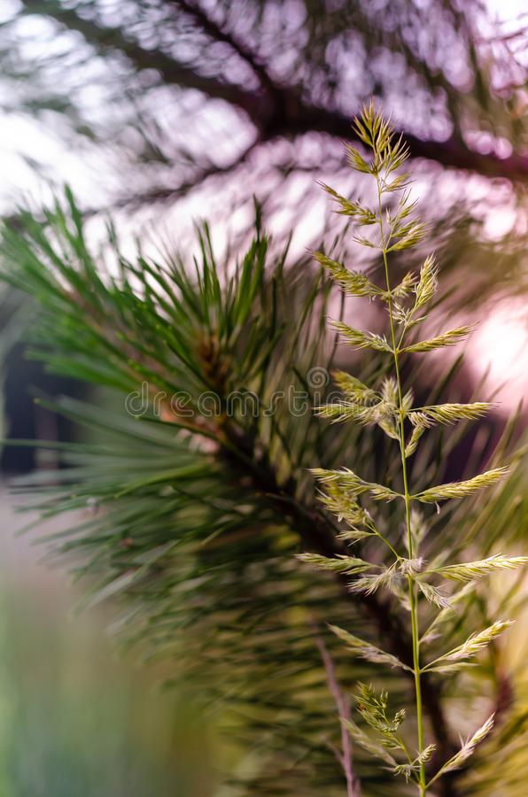 Bluegrass meadow or spikelet on the background of a pine branch. Poa praténsis stock photos