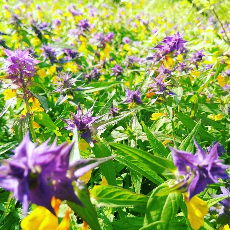 Yellow and purple flowers in sunshine stock image image of outdoor download yellow and purple flowers in sunshine stock image image of outdoor summer mightylinksfo
