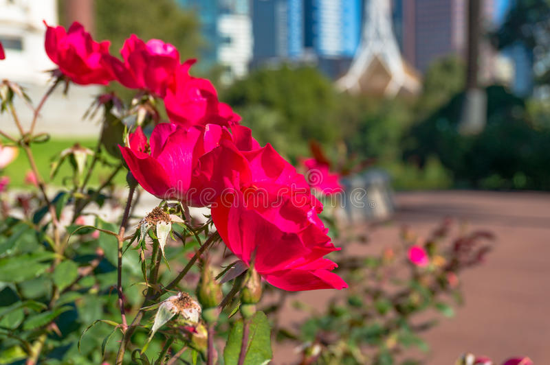 Bright crimson red rose flowers with cityscape on the background. Bright crimson red rose flowers with blurred cityscape on the background stock photography