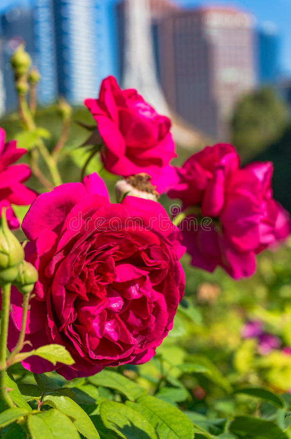 Bright crimson red rose flowers with cityscape on the background. Bright crimson red rose flowers with blurred cityscape on the background stock image