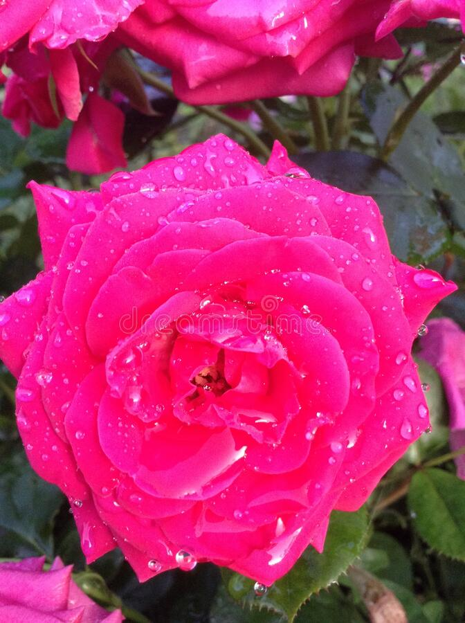 Bright dark pink rose in drops of water after the rain. Pink flower. Juicy and rich colors, pink petals, green leaves in the garden in summer. Floriculture royalty free stock photo