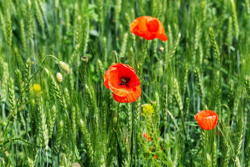 Bright day red poppies close-up. / wild flowers early summer stock photo