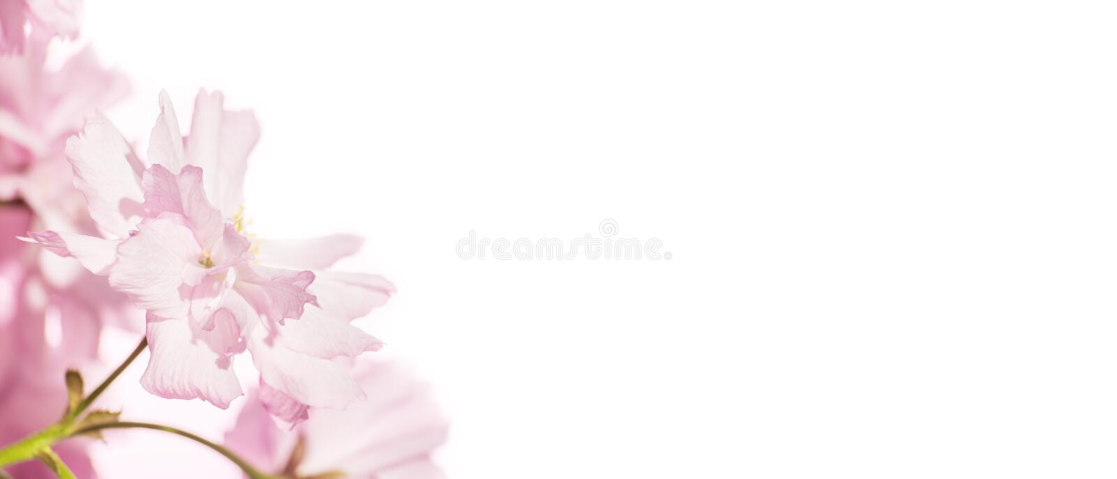 Bright delicate pink flowers isolated on white background royalty free stock photo