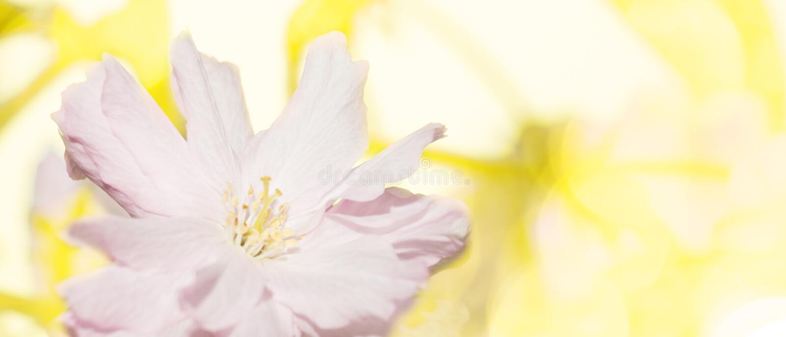 Bright delicate pink flowers on yellow background stock photos