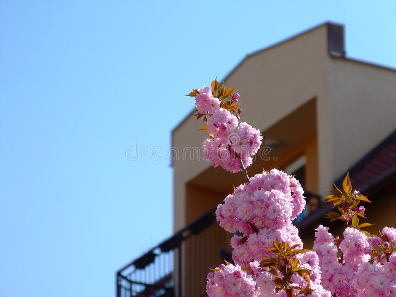 Bright dense pink flower blossom of tree top with blurred residential home and balcony in the background. And light blue sky. home ownership concept. copy space royalty free stock photos