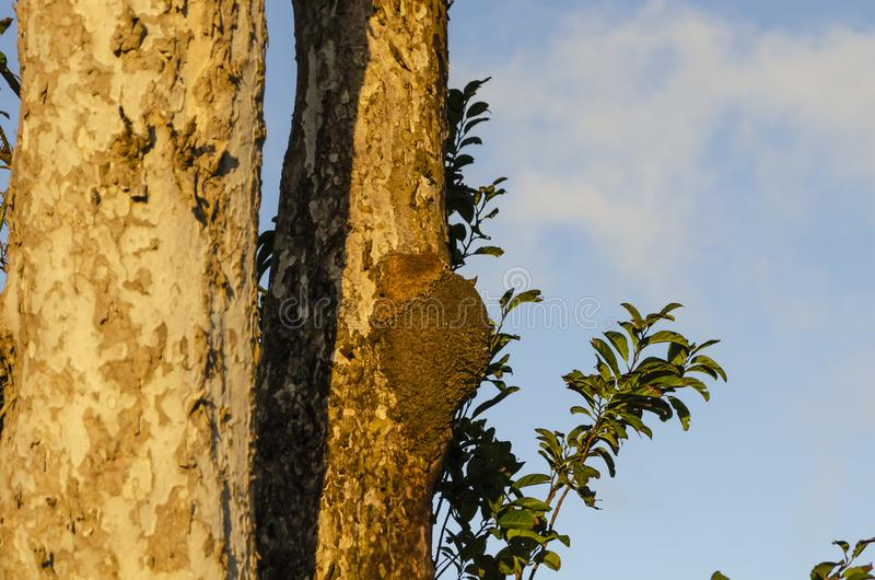 Bright Evening Sunshine On Termite Nest. Golden evening sunlight on the rough trunk and primary branch of a hogberry tree bark, and leafy sweetsop tree branch in stock photography