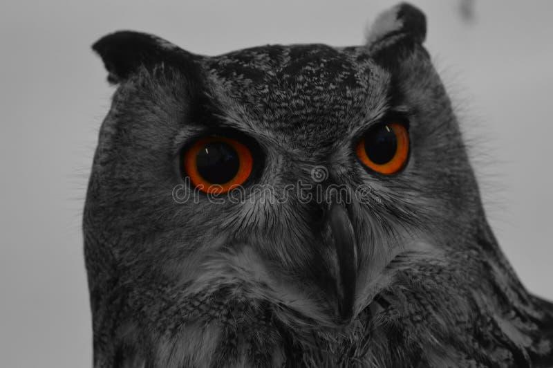 Bright eye owl stock photo